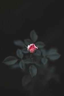 Frische kleine rosa gartenrose, die in der natur wächst, hinterlässt blütendetails auf einem verschwommenen hintergrund