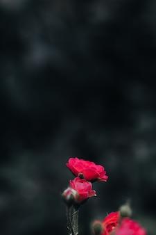Frische kleine rosa gartenrosen, die in der natur wachsen, hinterlässt blütendetails auf einem verschwommenen hintergrund