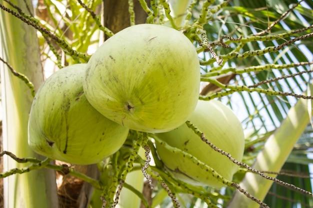 Frische kokosnüsse auf der handfläche
