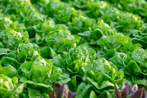 Frische kopfsalatblätter, salathydroponikbauernhof der salate