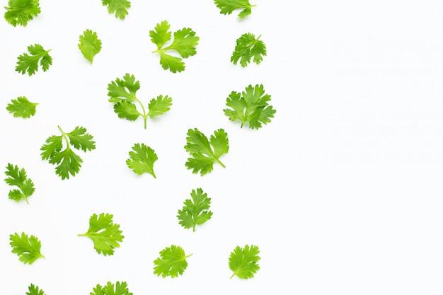 Frische korianderblätter auf weißem hintergrund.