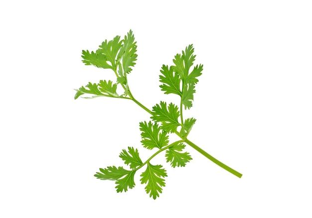 Frische korianderblätter lokalisiert auf weiß