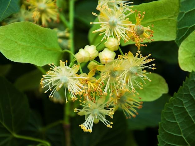 Frische lindenblumen auf dem baum - naturhintergrund