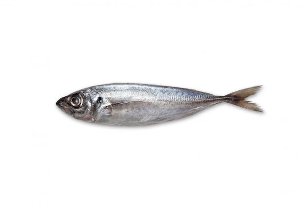 Frische makrele isoliert