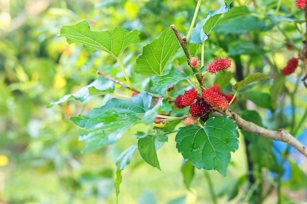 Frische maulbeere und pflanze