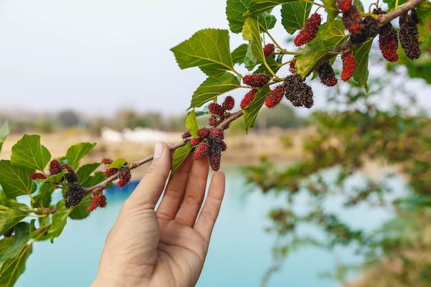 Frische maulbeere vom maulbeerbaum