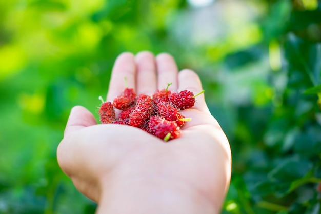 Frische maulbeerfrucht in der hand