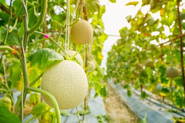 Frische melone oder cantaloup-melone, die im gewächshaushof wächst, der einen süßen geschmack hat.