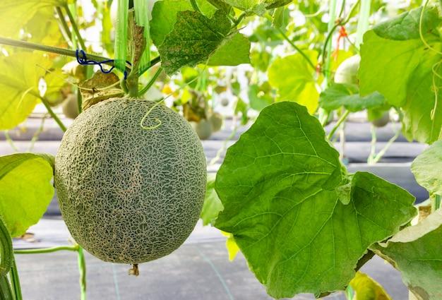 Frische melonen- oder kantalupenfrucht auf seinem baum