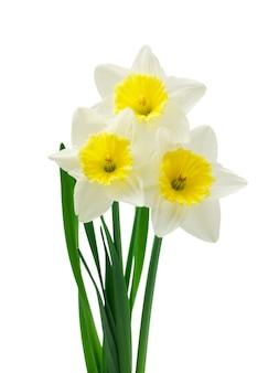 Frische narzissenblumen isoliert auf weißem hintergrund