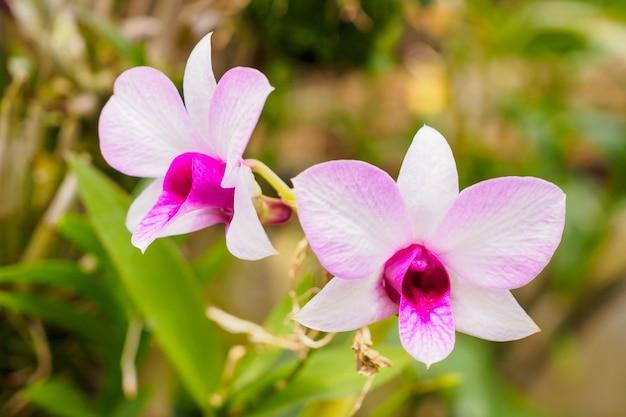 Frische natürliche orchideenblume schließen nah am garten