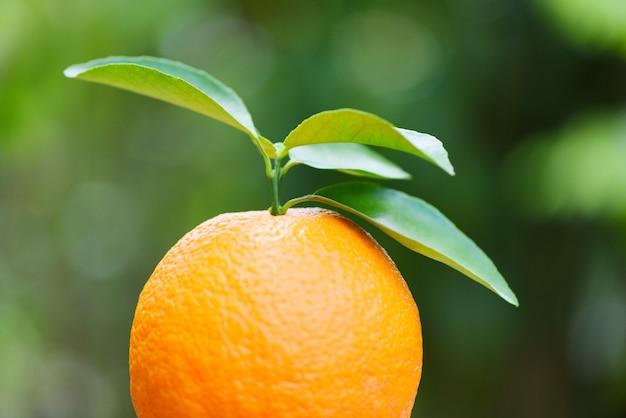 Frische orange mit blättern im gartenobstgarten