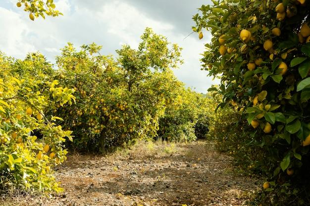 Frische orangenbäume geerntet