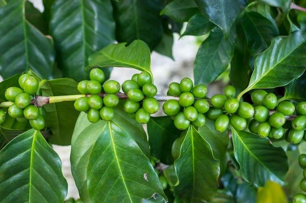 Frische organische grüne kaffeekirschbohnen auf baum, landwirtschaftsplantage im norden von thailand.
