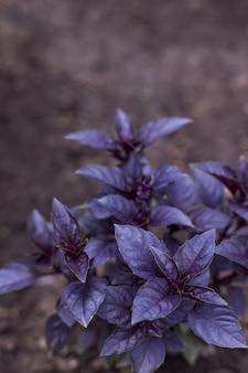 Frische organische purpurrote basilikumanlage im garten
