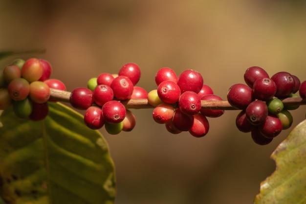 Frische organische rote rohe und reife kaffeekirschbohnen auf baum