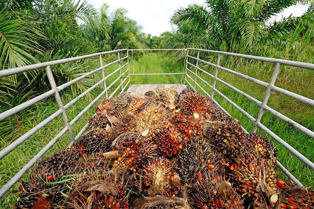 Frische palmölfrucht vom lkw.