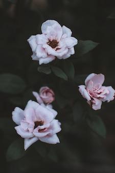 Frische pastellrosa gartenrosen, die in der tierwelt wachsen