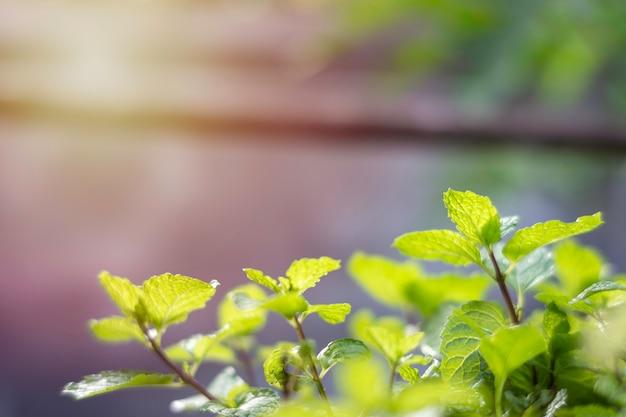 Frische pfefferminzbäume im garten sind ein heilkraut, das zum dekorieren und kochen von aromatischen speisen verwendet wird