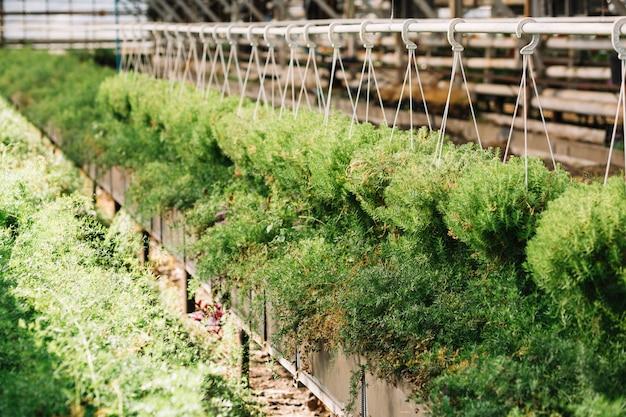 Frische pflanzen, die im gewächshaus hängen