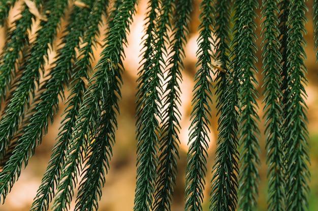 Frische pinienblätter