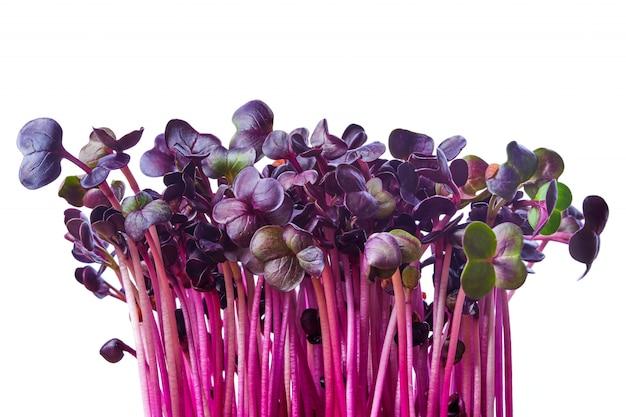 Frische purpurrote rettichsprösslinge getrennt auf weiß. microgreens.