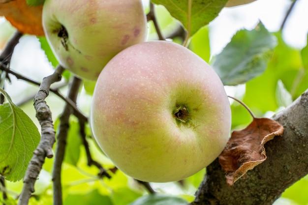 Frische reife äpfel auf einem ast mit blättern