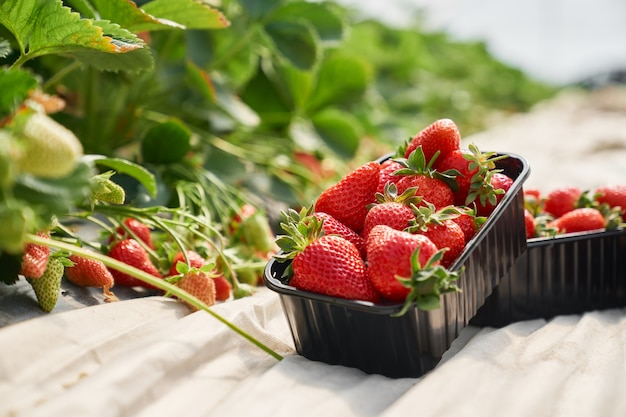 Frische reife erdbeeren in schwarzer plastikbox