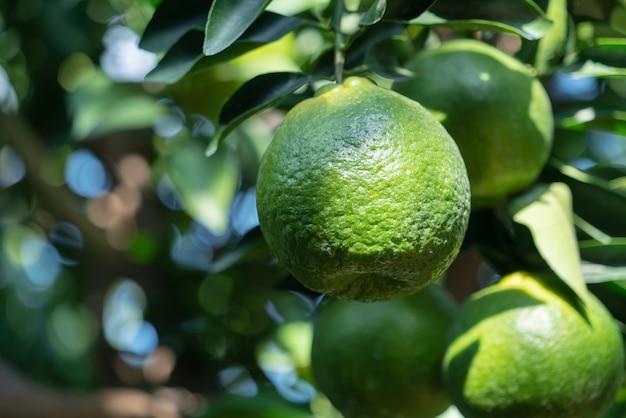 Frische reife mandarine mandarine auf dem baum im orangengarten obstgarten mit hintergrundbeleuchtung der sonne.