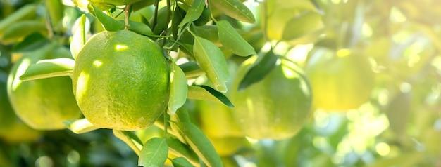 Frische reife mandarinen-mandarine auf dem baum im orangefarbenen gartenobstgarten mit hintergrundbeleuchtung der sonne.