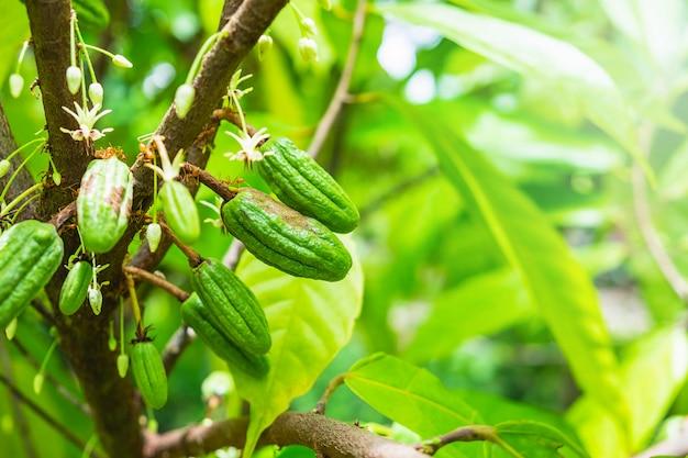 Frische rohe kakaofrucht vom kakaobaum