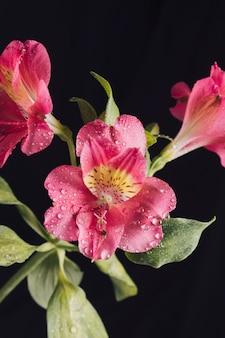 Frische rosa blüten im tau