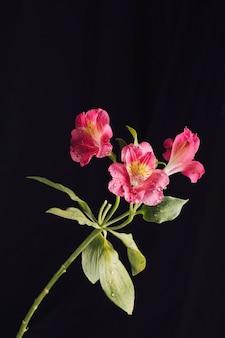 Frische rosa blumen im tau