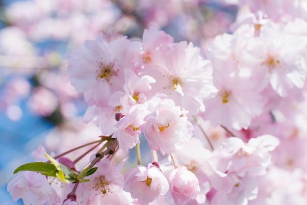 Frische, rosa, weiche frühlingskirschbaumblüten auf rosa bokeh