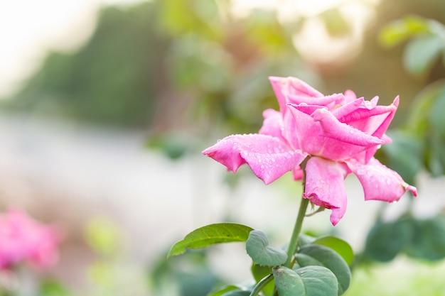 Frische rosarosenblume auf niederlassung mit wassertropfen der gartendekoration