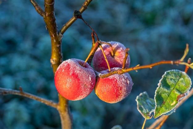 Frische rote äpfel auf baum im ersten frost, nahaufnahme. rote äpfel mit raureif nach dem ersten morgenfrost, ukraine