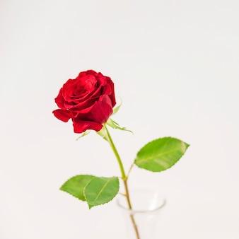 Frische rote blüte im vase