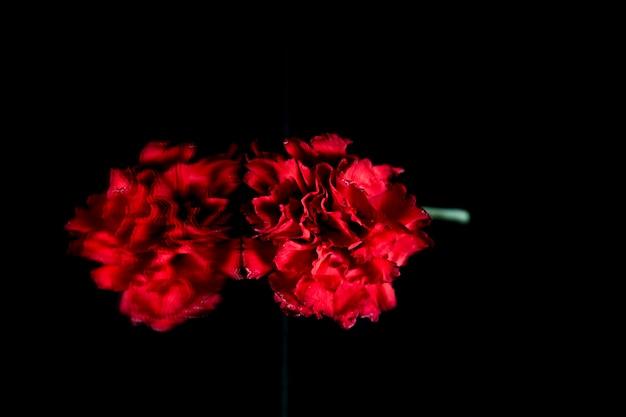 Frische rote gartennelke, die über glas über schwarzem hintergrund nachdenkt