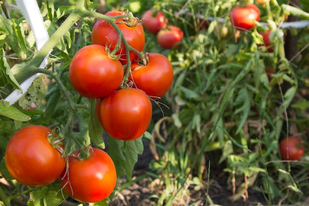 Frische rote organische tomaten auf der rebe im garten