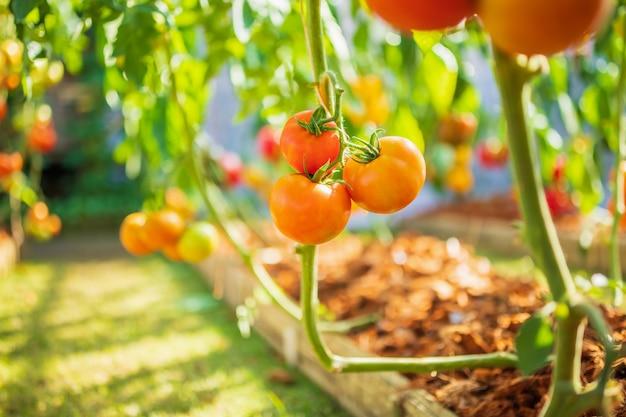 Frische rote reife tomaten hängen an der weinpflanze, die im bio-garten wächst