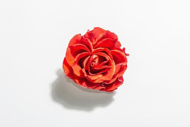 Frische rote rose lokalisiert auf weiß