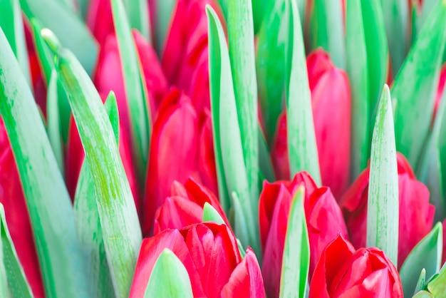 Frische rote tulpen mit grünem blattnaturfrühlingshintergrund. weichzeichner und bokeh