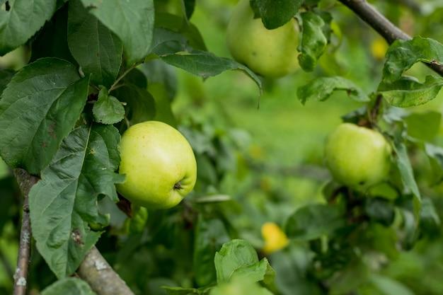 Frische saftige äpfel, die auf apfelbaumzweig reifen. bio-früchte im hausgarten. reife junge äpfel auf den zweigen. der garten wächst. erntezeit
