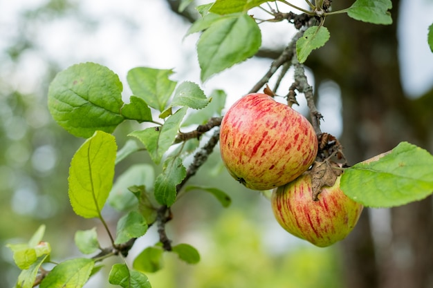 Frische saftige früchte, die auf apfelbaumzweig reifen. bio-früchte im hausgarten. grüne äpfel mit rosa streifen, die auf einem säulenapfelbaum wachsen