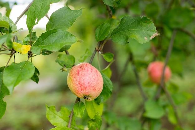 Frische saftige früchte, die auf apfelbaumzweig reifen. bio-früchte im hausgarten. grüne äpfel