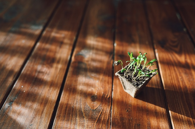 Frische sprossen, in einen biologisch abbaubaren topf pflanzen. öko-gartenarbeit zu hause
