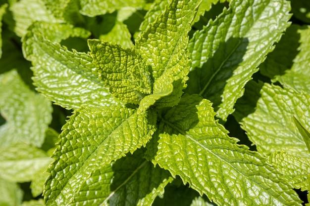 Frische tadellose blätter auf hintergrund im freien. mentha spicata