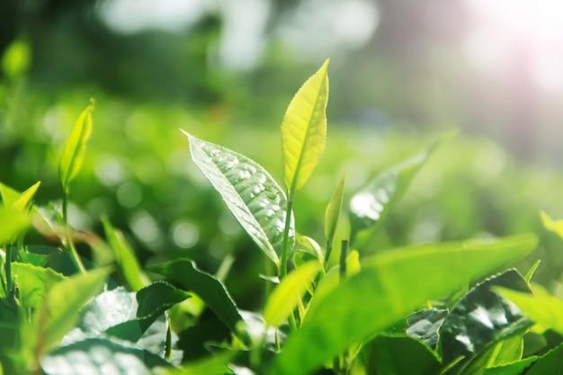 Frische teeblätter und morgensonnenschein