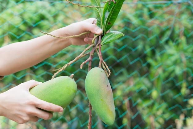 Frische thailändische mangos im garten mit hintergrund des blauen himmels
