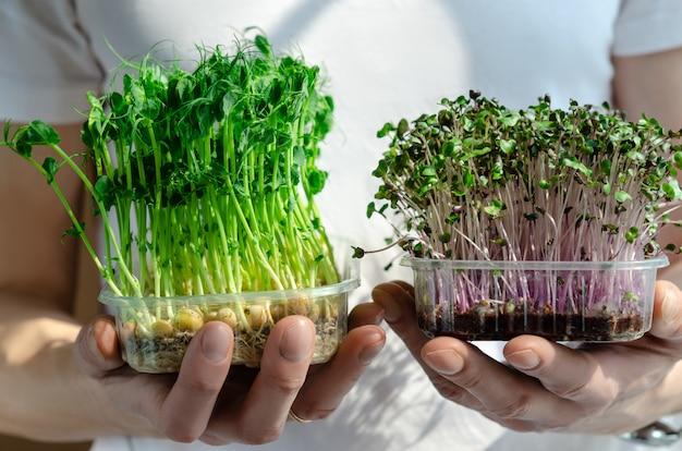 Frische und grüne mikrogrüne sprossen von gekeimten erbsen- und rotkohlsamen in plastikboxen